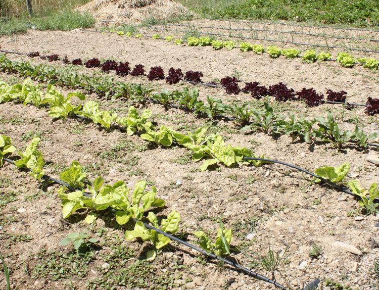 plantación de todas las hortalizas