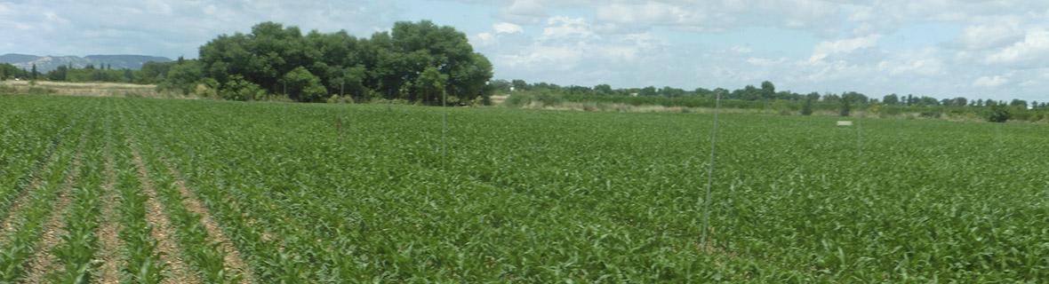parcela de maíz de Fundación Geoalcali